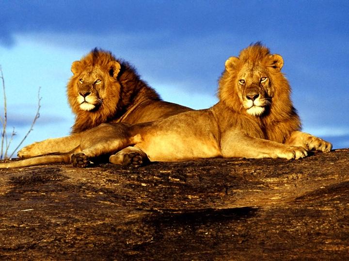 Львы Кении